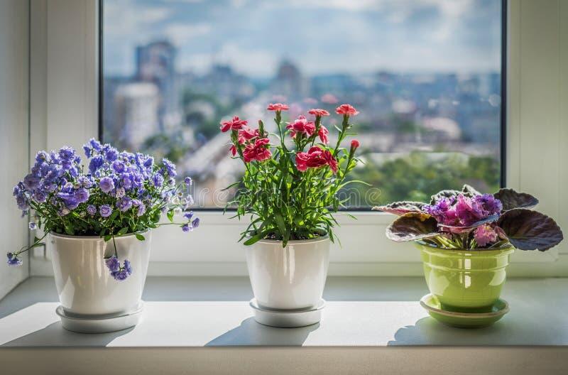 Plantas de la casa en ventana Clavel, flor azul y kala fotografía de archivo