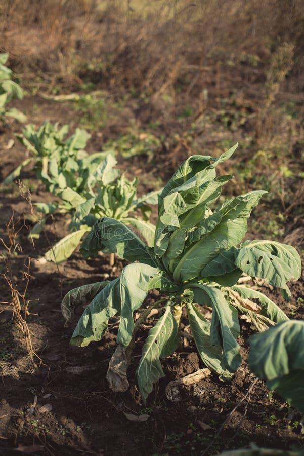 Plantas de la coliflor en invierno temprano imagen de archivo