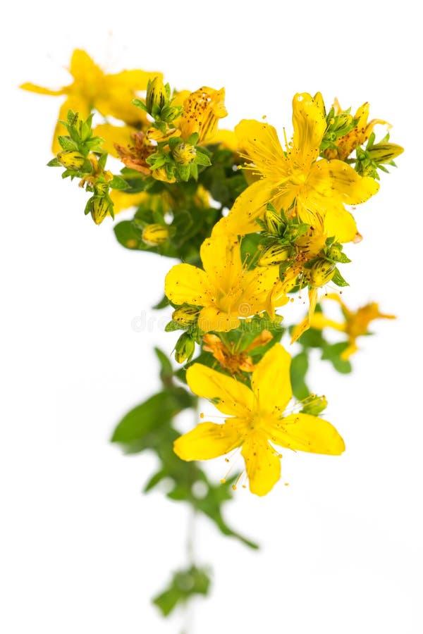 Plantas de la cura: Perforatum del Hypericum de la hierba de San Juan en el fondo blanco de una opinión del ojo de pájaro fotos de archivo libres de regalías