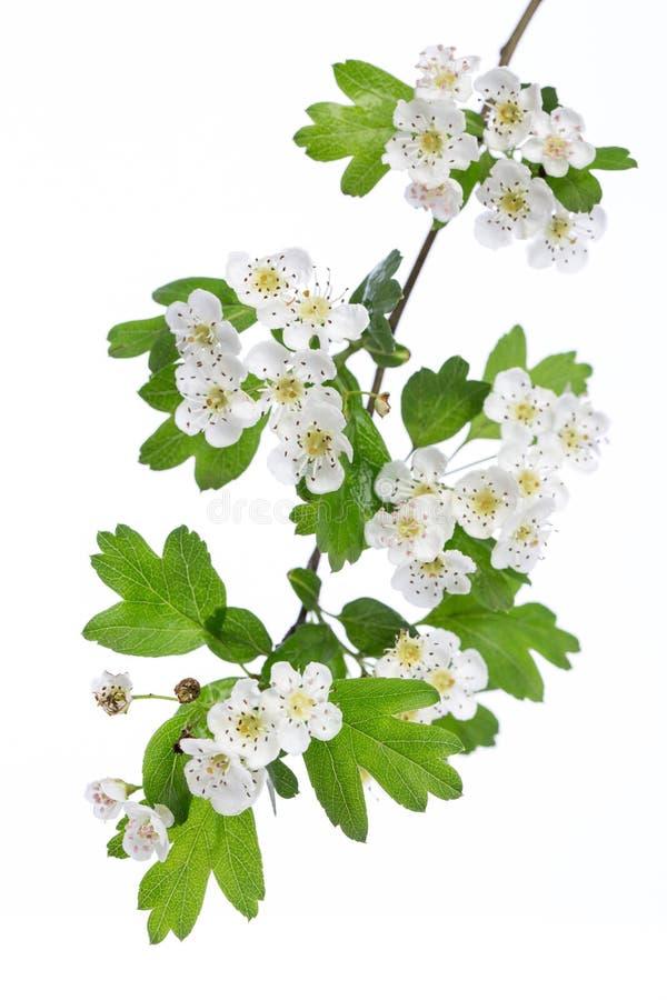 Plantas de la cura: Rama del monogyna del Crataegus del espino con las flores en un fondo blanco foto de archivo libre de regalías