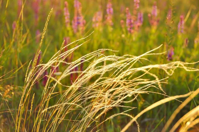 Plantas de la estepa Estípite plumoso imagen de archivo