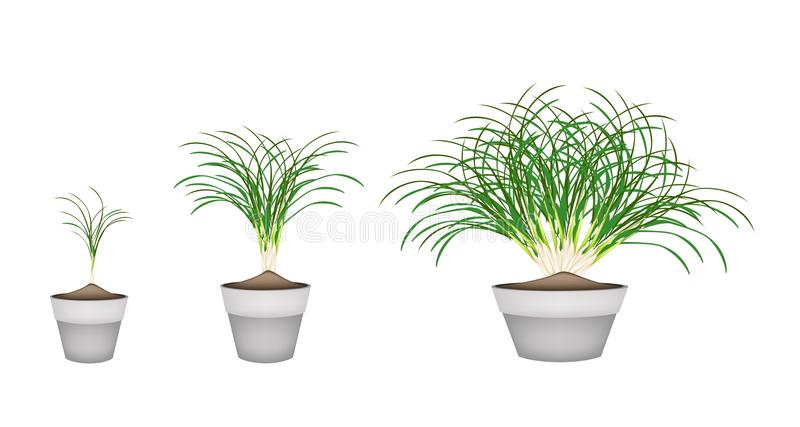 plantas de la hierba de limn en macetas de cermica