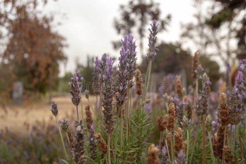 Plantas de la lavanda que crecen entre las hierbas fotos de archivo libres de regalías