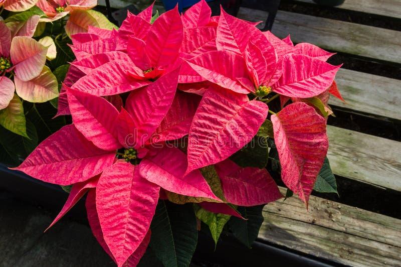 Plantas de la poinsetia en la floración como decoraciones de la Navidad fotografía de archivo