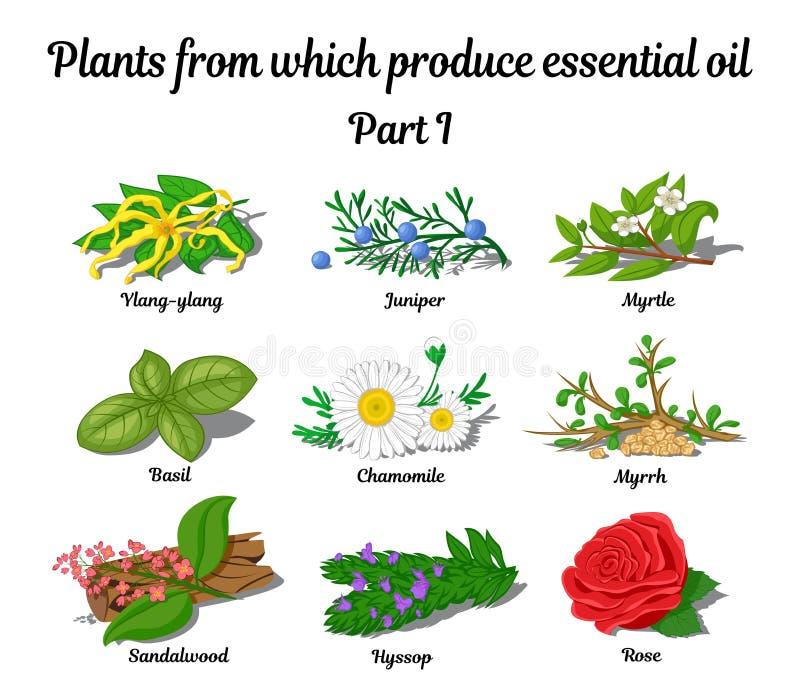 Plantas de las cuales aceites esenciales de la producción stock de ilustración