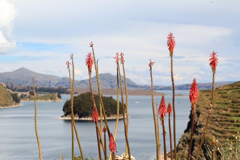 Plantas de las islas de Sun de Titicaca foto de archivo libre de regalías