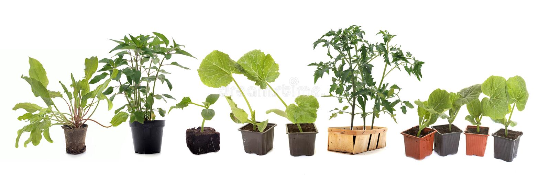Plantas de las verduras en estudio fotos de archivo libres de regalías