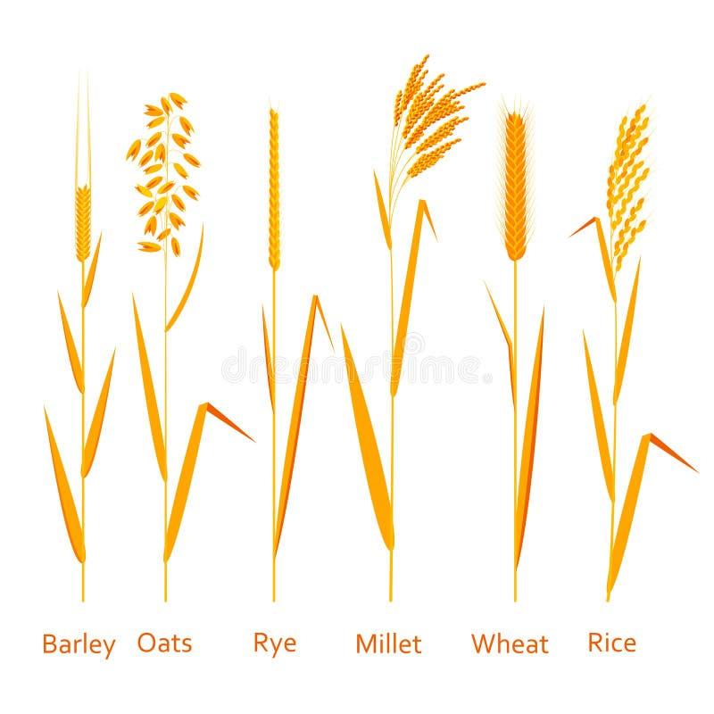 Plantas de los cereales fijadas Fuentes de los carbohidratos ilustración del vector
