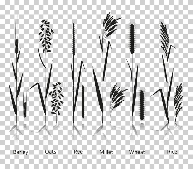 Plantas de los cereales fijadas Fuentes de los carbohidratos Iconos de la silueta con la reflexión en fondo transparente ilustración del vector