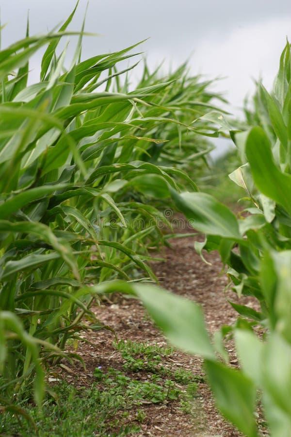 Plantas de maíz fotos de archivo