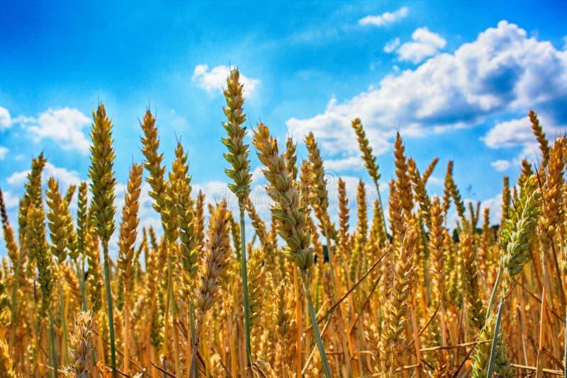 plantas de maíz de oro foto de archivo