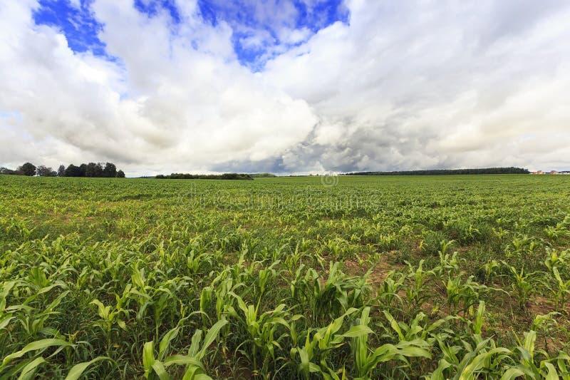 Plantas de maíz en campo foto de archivo libre de regalías