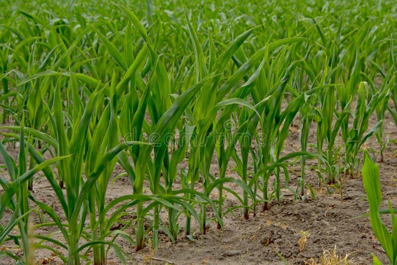 Plantas de maíz verde jovenes foto de archivo