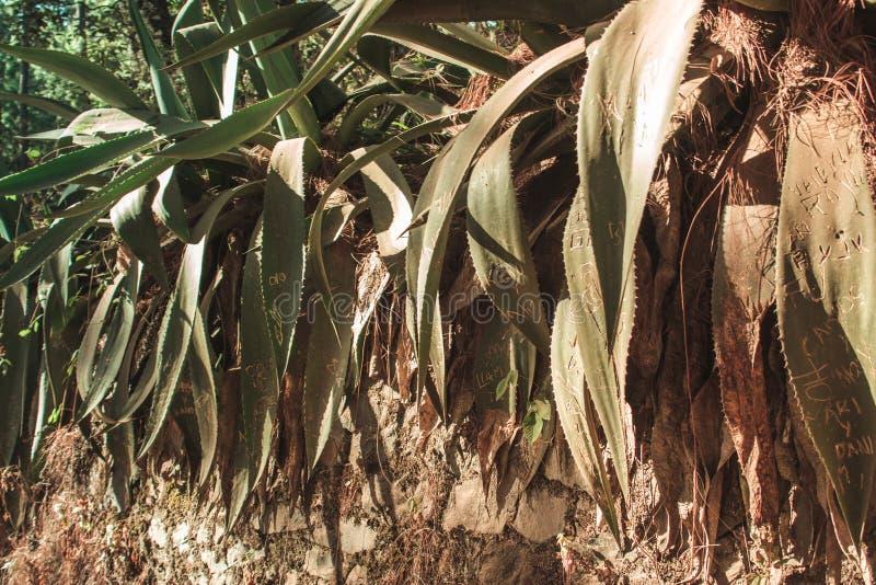 Plantas de Maguey en el bosque fotografía de archivo libre de regalías