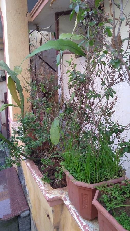 Plantas de manjericão da Índia imagem de stock royalty free