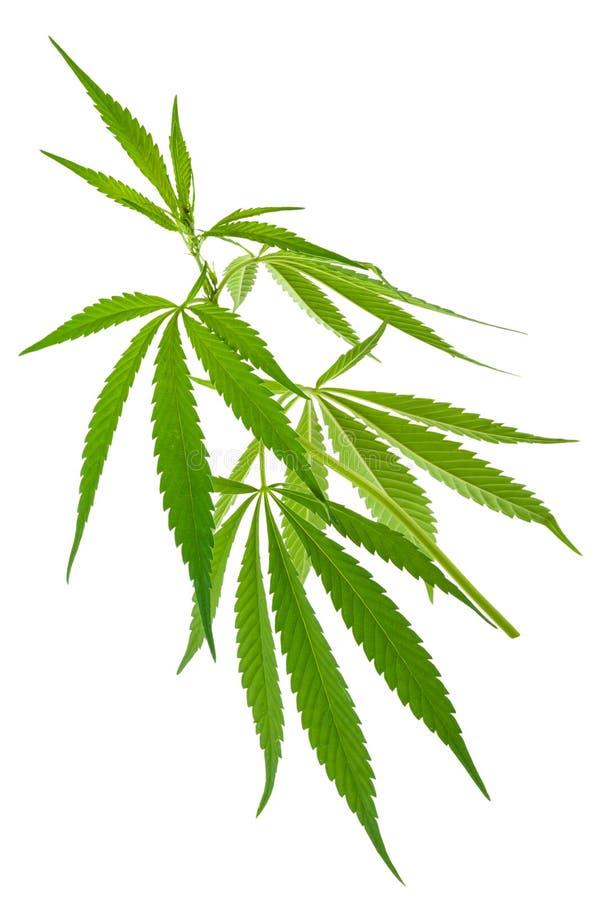 Plantas de marijuana crescentes novas novas do cannabis fotos de stock royalty free