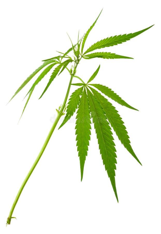 Plantas de marijuana crescentes novas novas do cannabis imagens de stock royalty free