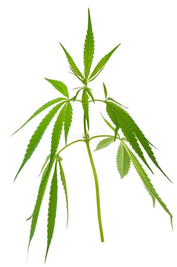 Plantas de marijuana crescentes novas novas do cannabis fotografia de stock