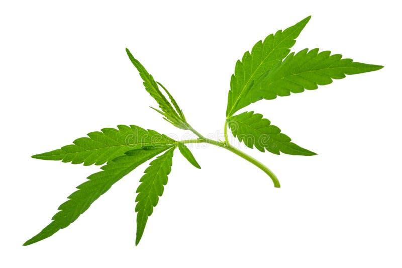 Plantas de marijuana crescentes novas novas do cannabis fotos de stock