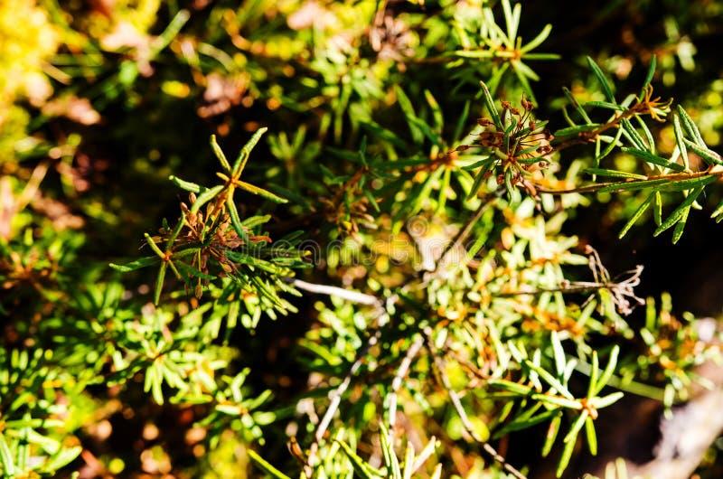 Plantas de Marsh Labrador Tea en el otoño fotografía de archivo libre de regalías