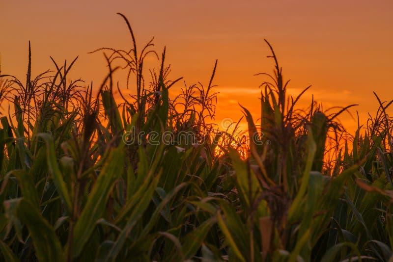 Plantas de milho no campo no por do sol fotos de stock royalty free