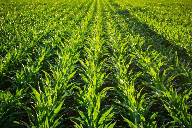 Plantas de milho novas fotos de stock
