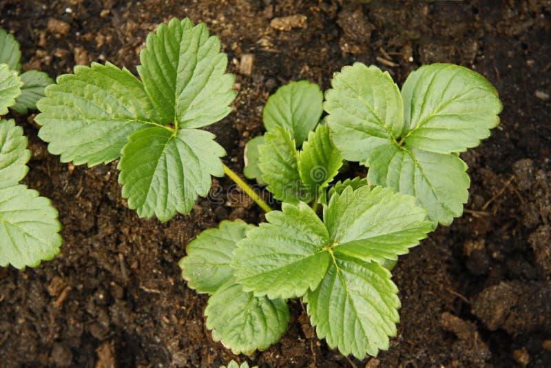 Plantas de morango foto de stock royalty free