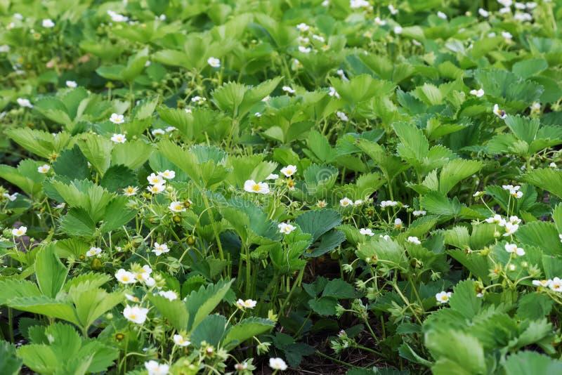 Plantas de morango na flor imagem de stock royalty free