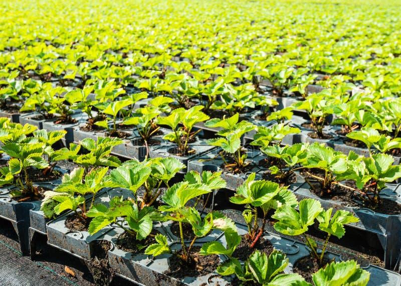 Plantas de morango novas em seguido foto de stock royalty free