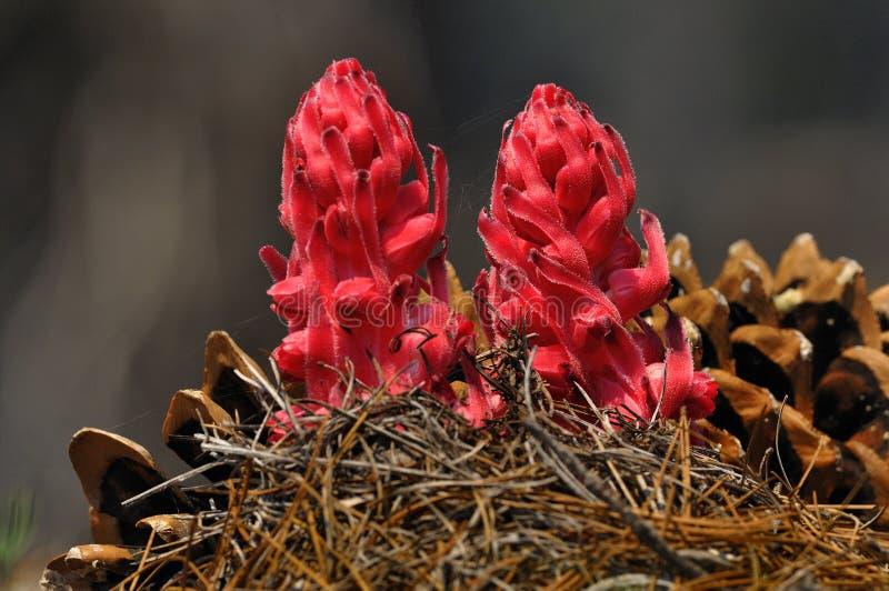 Plantas de nieve y conos del pino, parque nacional volcánico de Lassen foto de archivo