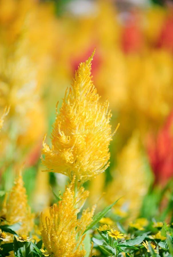 Plantas de Pampa Plume Celosia Mix que florecen y plena floración foto de archivo libre de regalías