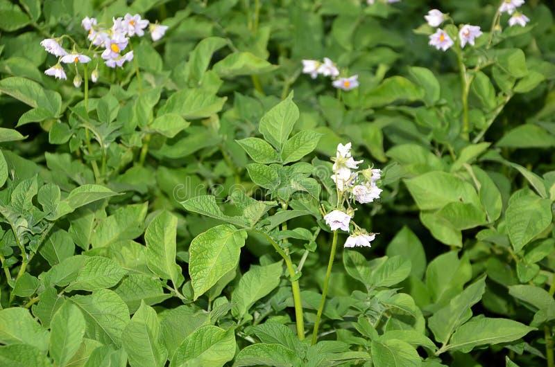 Plantas de patata con las flores en la fotografía en color del campo imagen de archivo