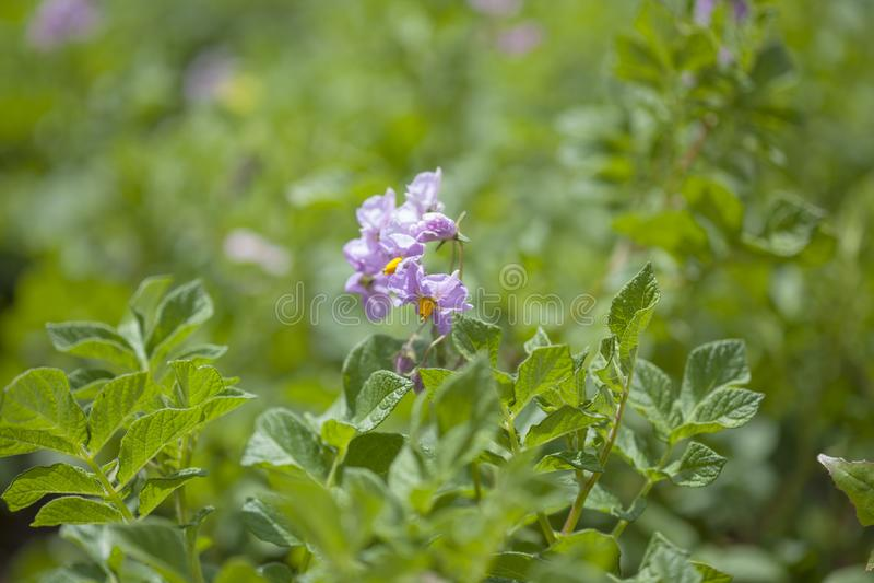 Plantas de patata florecientes imagenes de archivo