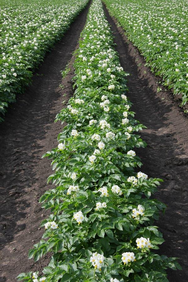 Plantas de patata Flourishing fotografía de archivo
