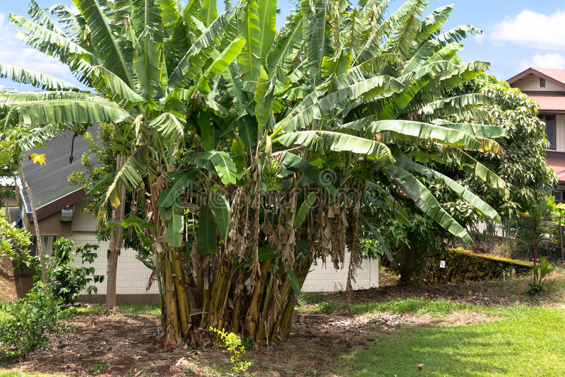 Plantas de plátano en la isla grande, Hawaii imagenes de archivo