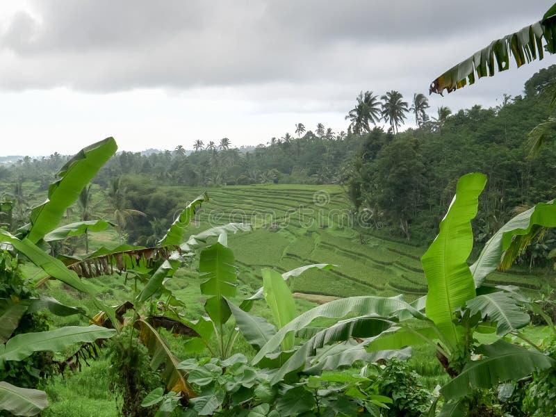 Plantas de plátano y arroz joven que crecen en terrazas en Bali foto de archivo libre de regalías
