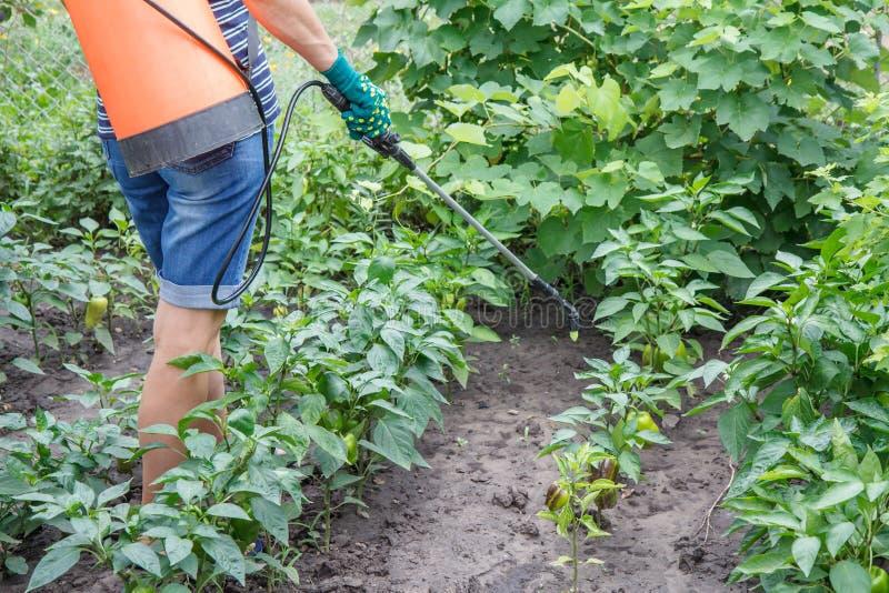 Plantas de protección del paprika de la enfermedad fungicida o bichos usando el rociador fotografía de archivo libre de regalías