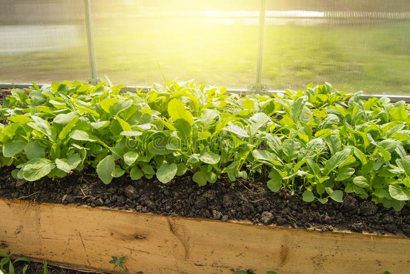 Plantas de rabanete novas na estufa, o conceito de crescer vegetais org?nicos dentro todo o ano fotografia de stock
