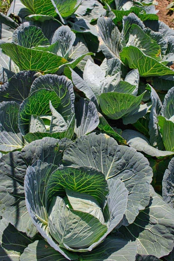 Plantas de repolho em bruto em Dieng, Wonosobo Indonésia imagem de stock