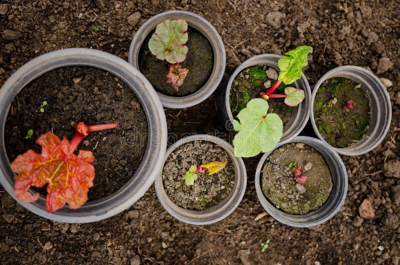 Plantas de ruibarbo fotografia de stock royalty free