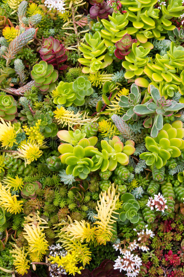 Plantas de Sedum foto de archivo