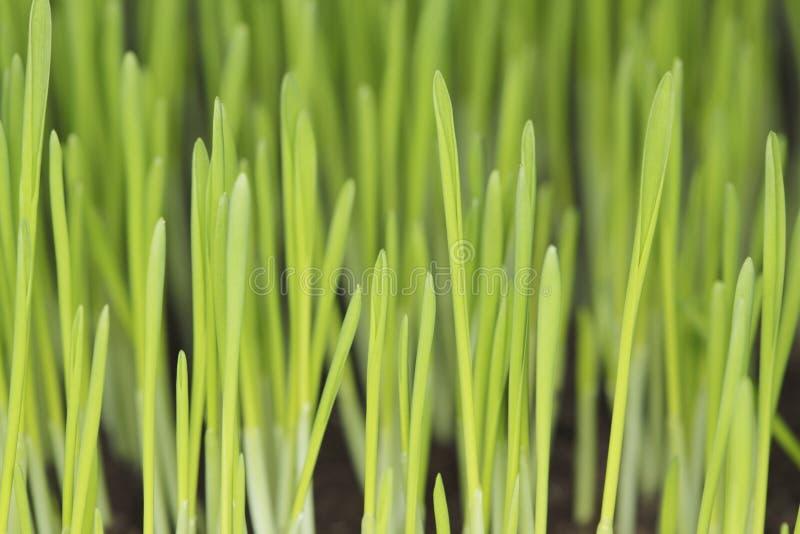Plantas de semillero de la cebada imagenes de archivo