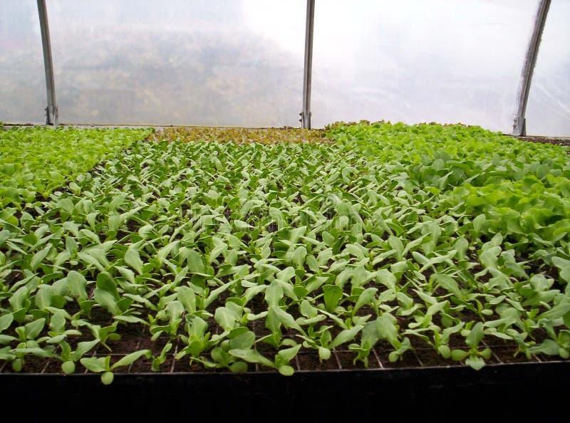 Plantas de semillero de la lechuga fotos de archivo libres de regalías