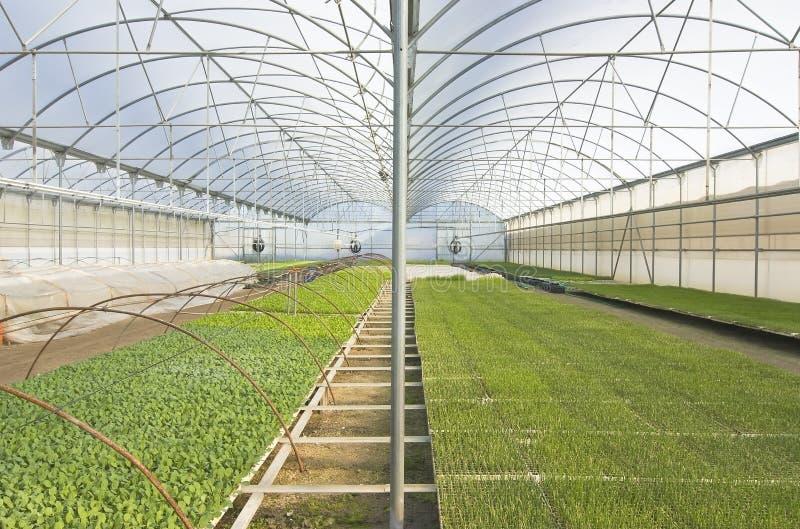 Plantas de semillero de la planta en el invernadero imagen de archivo