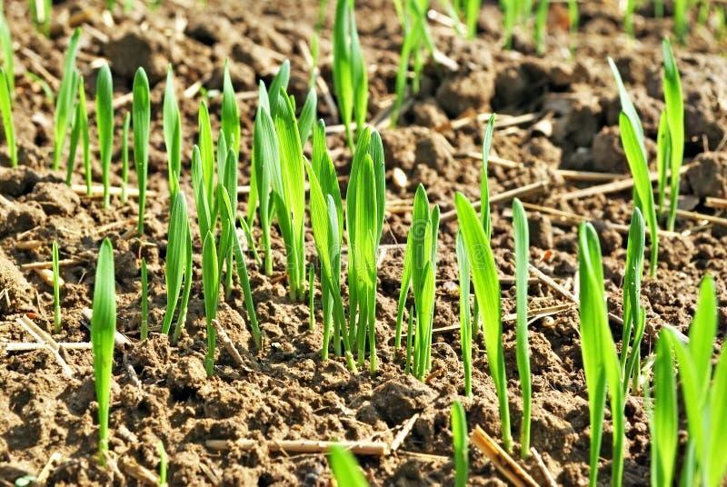 Plantas de semillero del trigo imagen de archivo