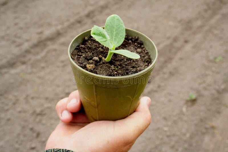 Plantas de semillero en crisoles foto de archivo