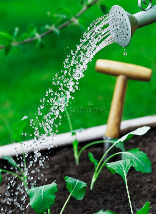 Plantas de semillero jovenes de riego imagen de archivo libre de regalías