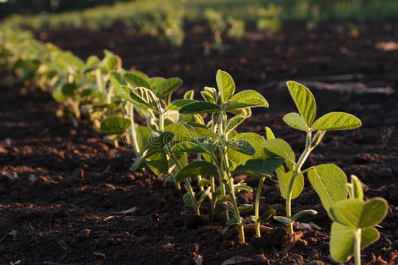 Plantas de soja foto de archivo libre de regalías