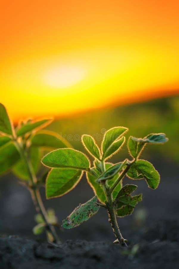 Plantas de soja en puesta del sol imágenes de archivo libres de regalías