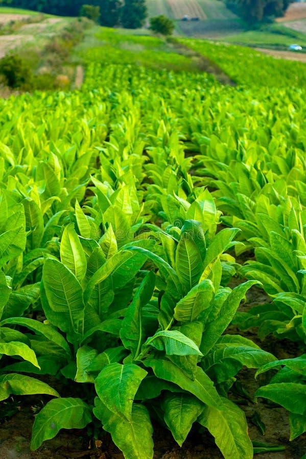 Plantas de tabaco imagen de archivo libre de regalías